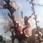 wiosna1N Rosa